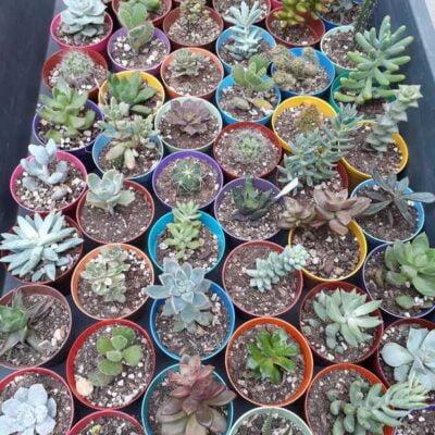 Suculentas (cactus y crasas) en maceta N6