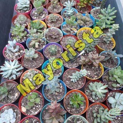 Suculentas (cactus y crasas) en macetas N6 – Mayorista