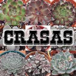 Crasas